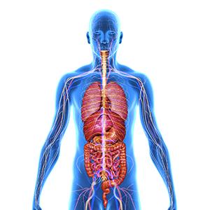 Ролята на л-карнитин в човешкото тяло